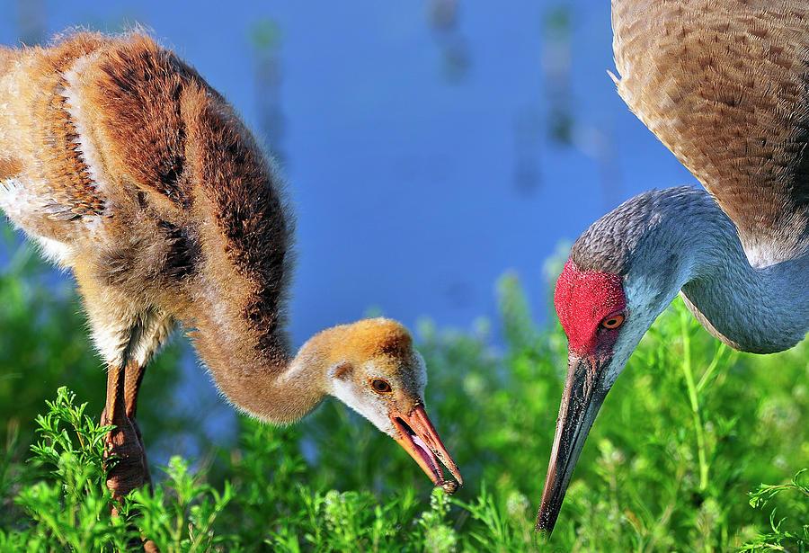 Mother Photograph - Sandhill Cranes Having Breakfast by Bill Dodsworth