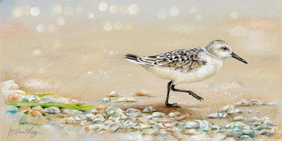 Sandpiper Study One Drawing by Bob Manthey