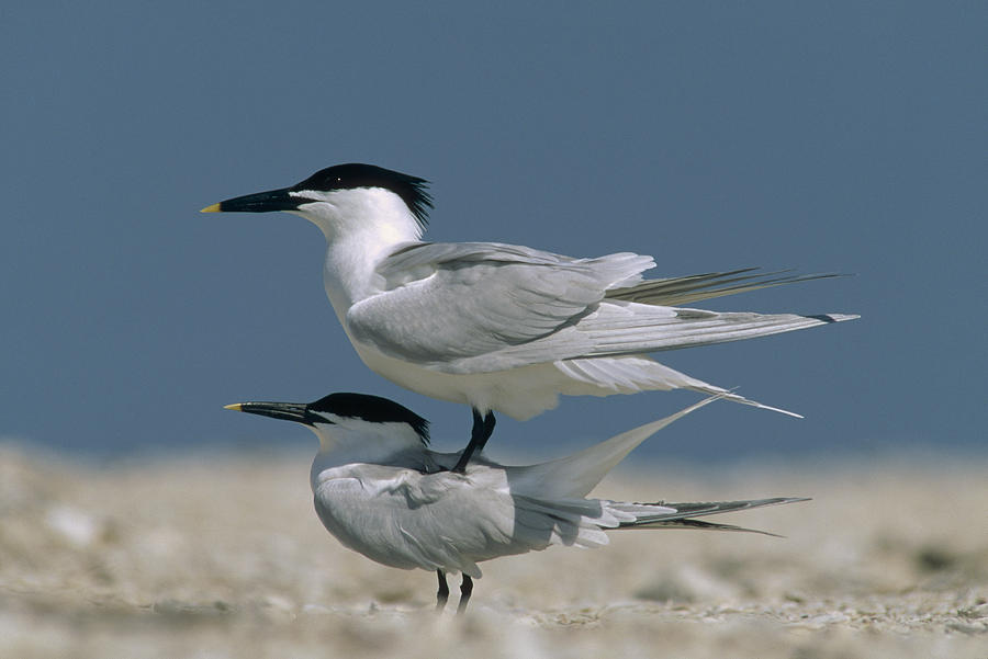 Sandwich Tern Couple Courting North Photograph by Tim Fitzharris