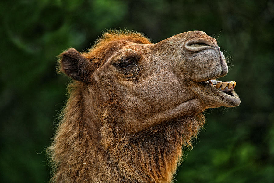 Camel Photograph - Say What by Karol Livote