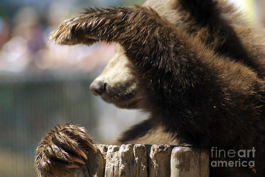 Bear Photograph - Saying Hello by Jenny May