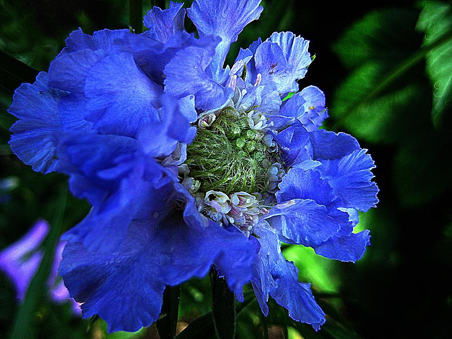 Flower Photograph - Scabiosa by Shirley Sirois