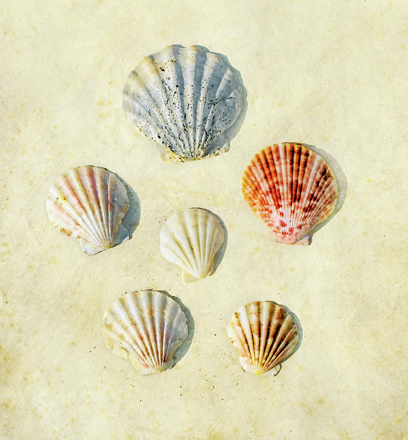 Vertical Photograph - Scallop Shells by Paul Grand Image