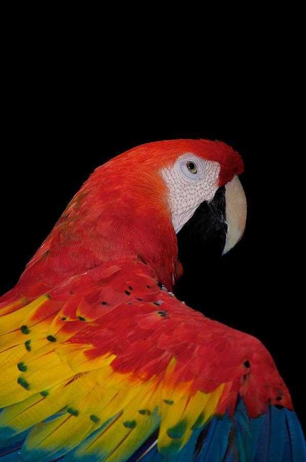 Adorable Photograph - Scarlet Macaw by C Thomas Willard