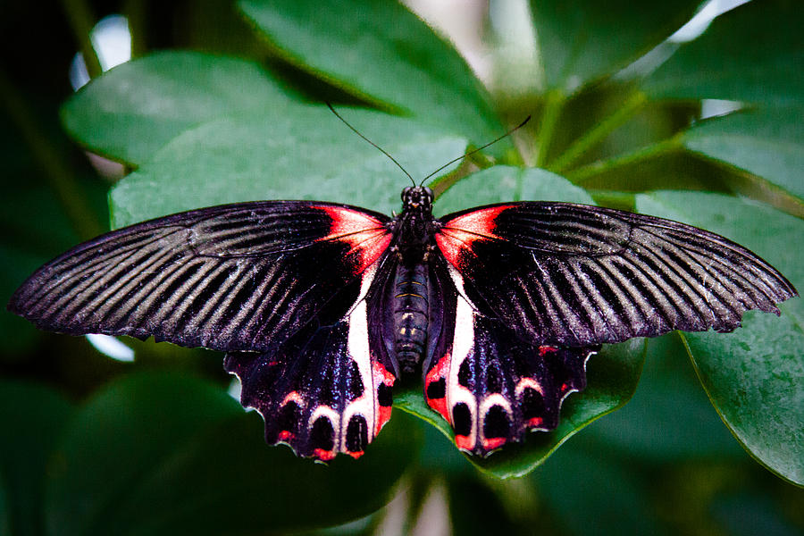 Butterfly Photograph - Scarlet Swallowtail Butterfly by David Patterson