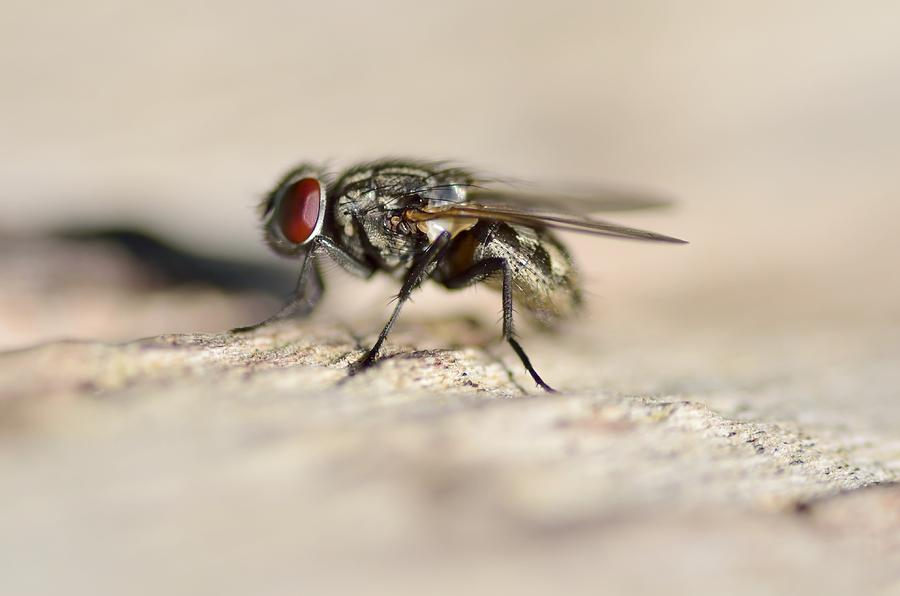 Fly Photograph - Scary Fly by Marian Heddesheimer