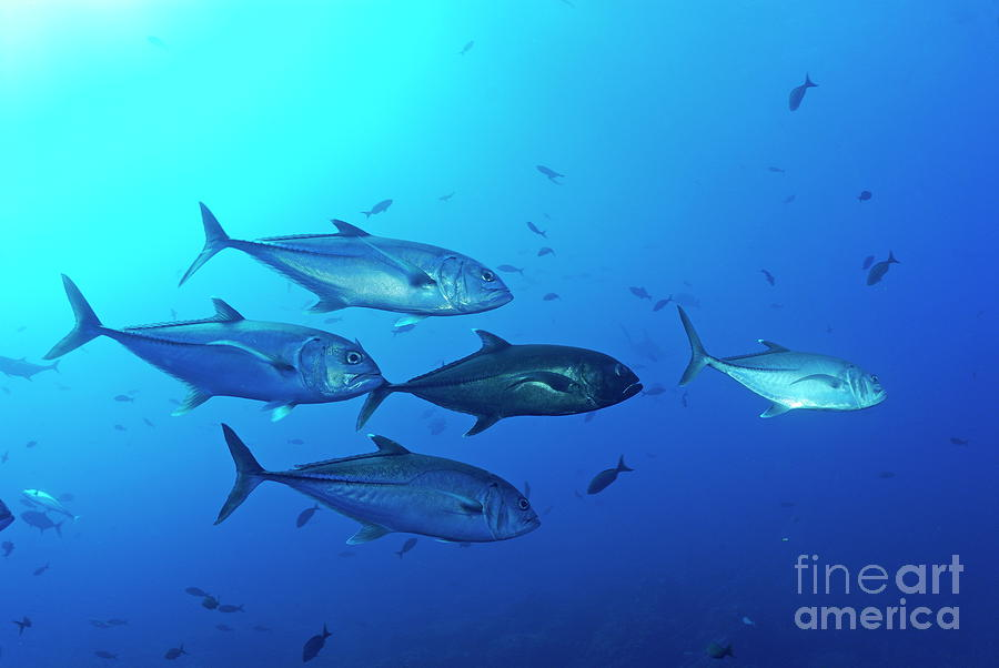 Day Photograph - School Of Bigeye Jack Fishes by Sami Sarkis