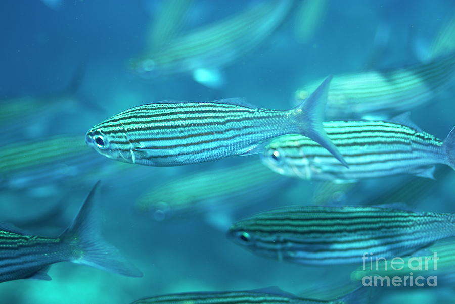 Conformity Photograph - School Of Black Striped Salema Fishes by Sami Sarkis
