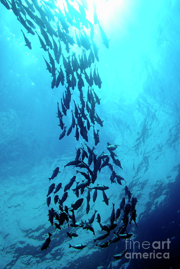 Conformity Photograph - School Of Cortez Sea Chub Fishes by Sami Sarkis