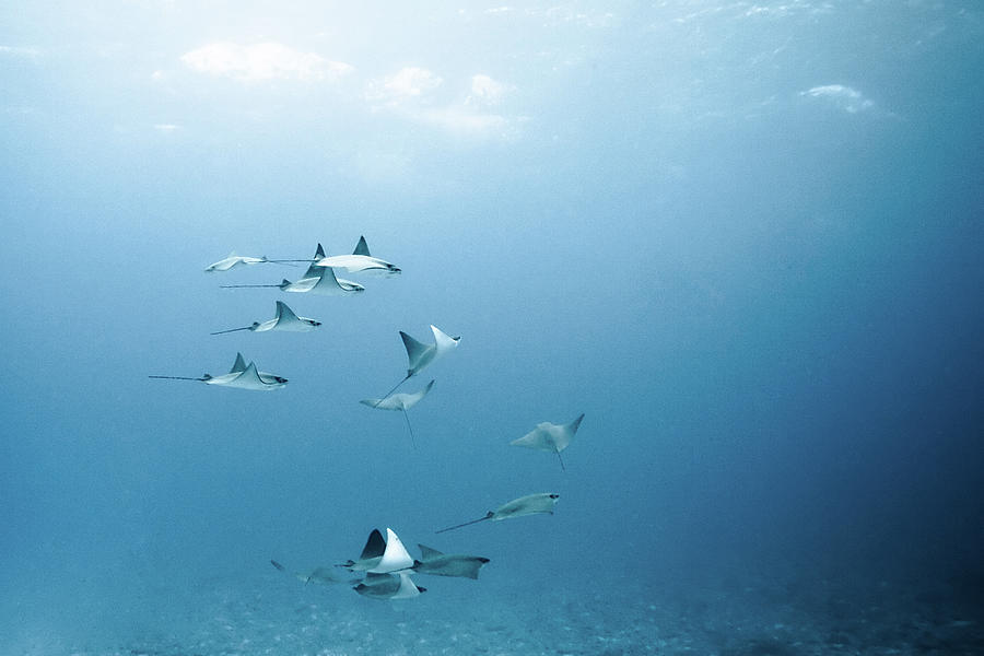 Horizontal Photograph - School Of Devil Rays by Alexander Safonov