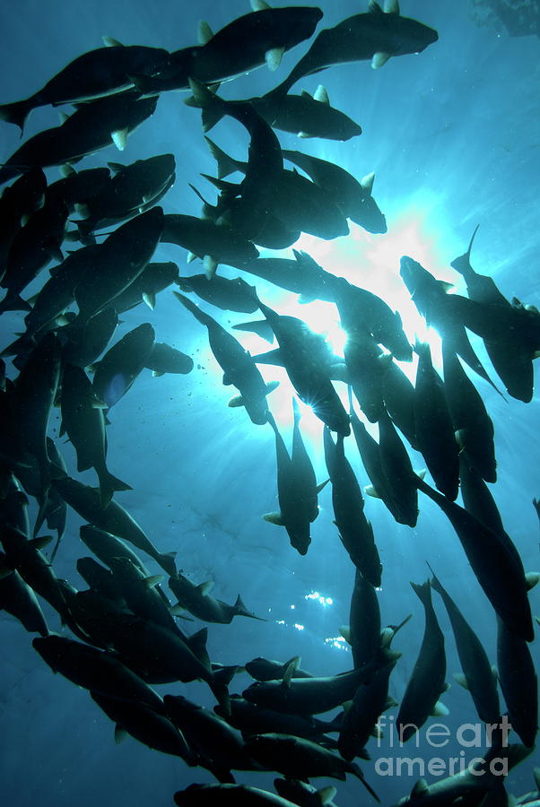 Conformity Photograph - School Of Fishes by Sami Sarkis
