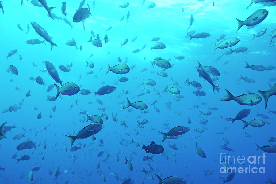 On The Move Photograph - School Of Grunt Fish by Sami Sarkis