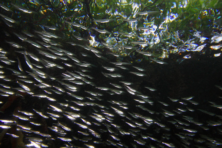 Schooling Fish Under Red Mangrove  Photograph by Christian Ziegler