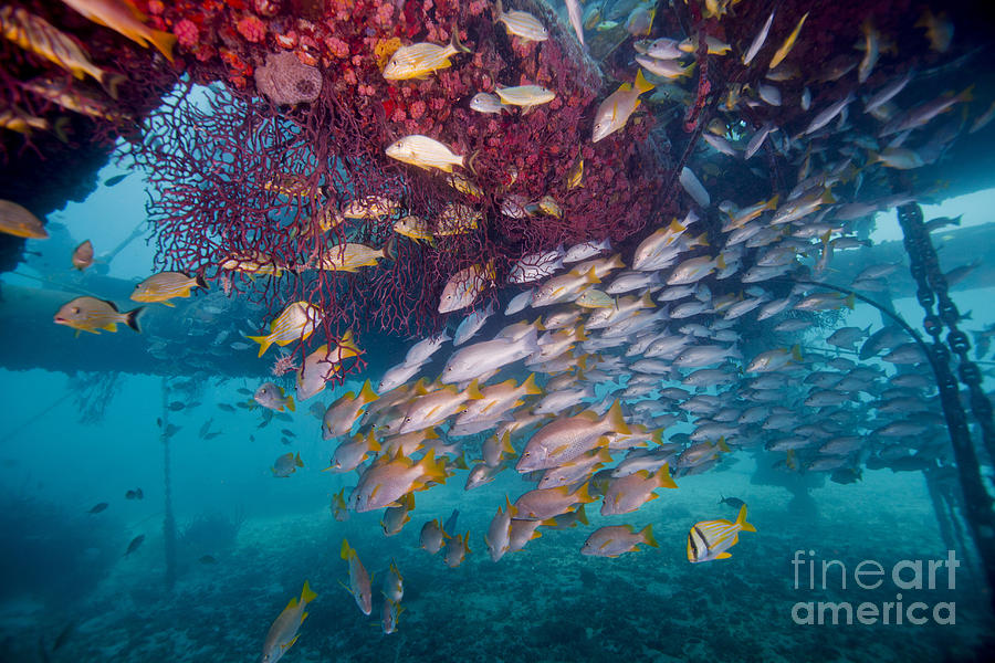 Fish Photograph - Schools Of Gray Snapper, Yellowtail by Terry Moore