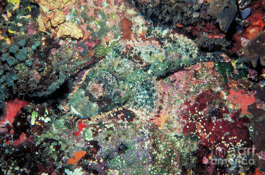 Scorpionfish Photograph - Scorpionfish by Gregory G. Dimijian