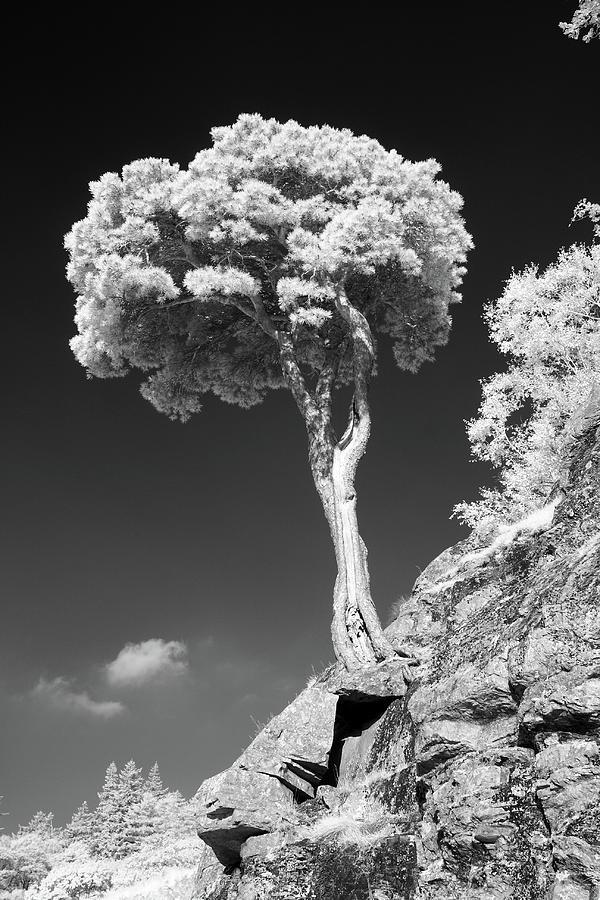 Vertical Photograph - Scots Pine Tree by Taken by Timothy Ball