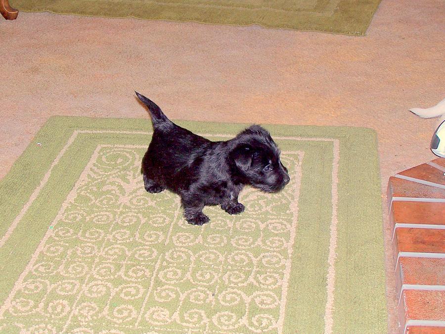 Photograph Photograph - Scottie Puppy by Amy Bradley