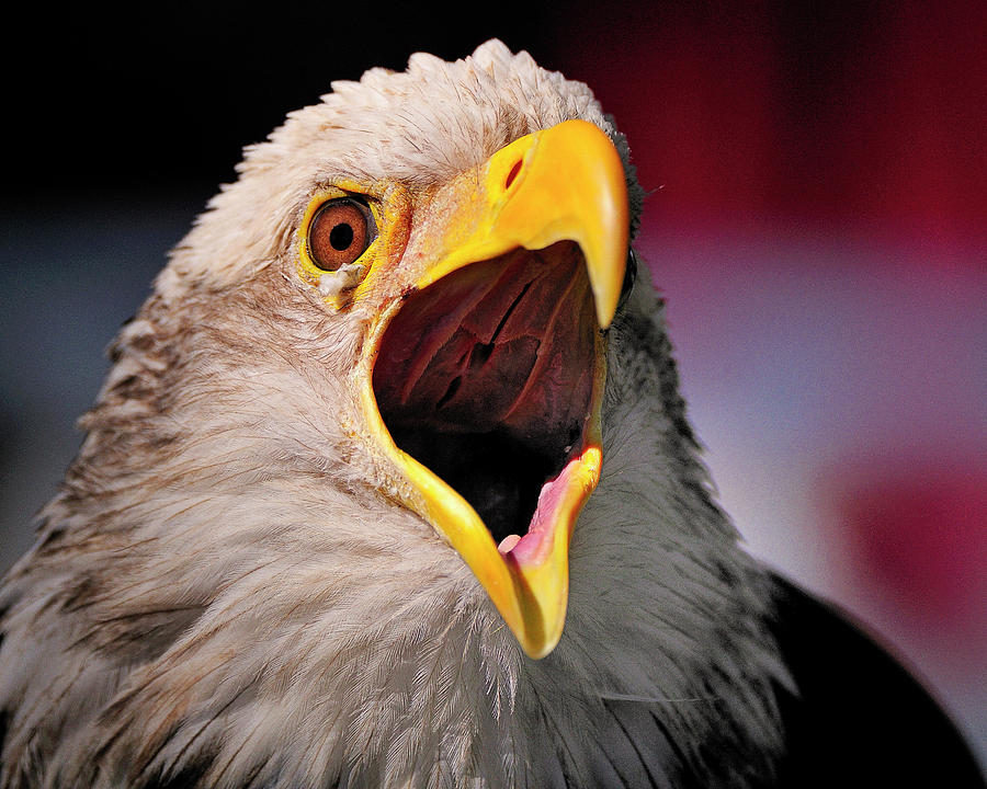 Bald Photograph - Screaming Eagle I by Bill Dodsworth