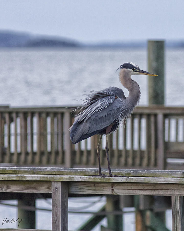 Beaufort County Photograph - Scruffy Heron by Phill Doherty