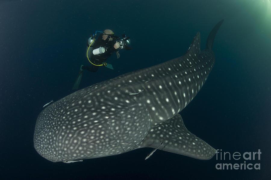 Filter Feeders Photograph - Scuba Diver And Whale Shark, Papua by Steve Jones