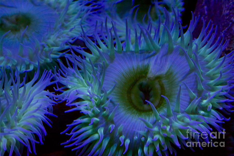 Sea Photograph - Sea Anemone by Xn Tyler