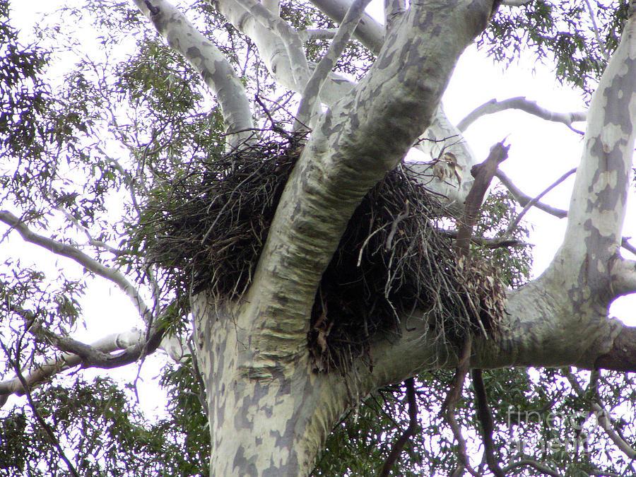 Eagle Nest Photographs Photograph - Sea Eagle Nest by Joanne Kocwin