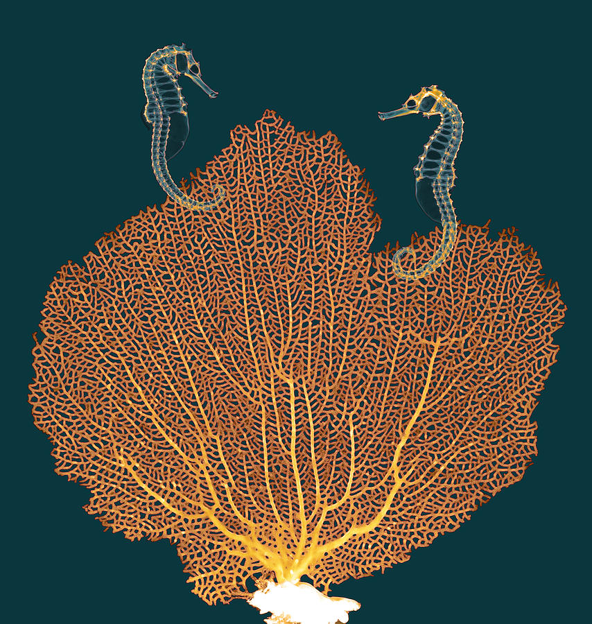 Zoology Photograph - Sea Fan And Seahorses, X-ray by D. Roberts