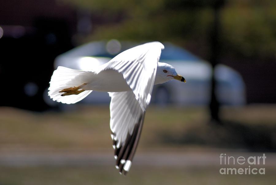 Seagull Photograph - Sea Gull In Flight by Mark McReynolds