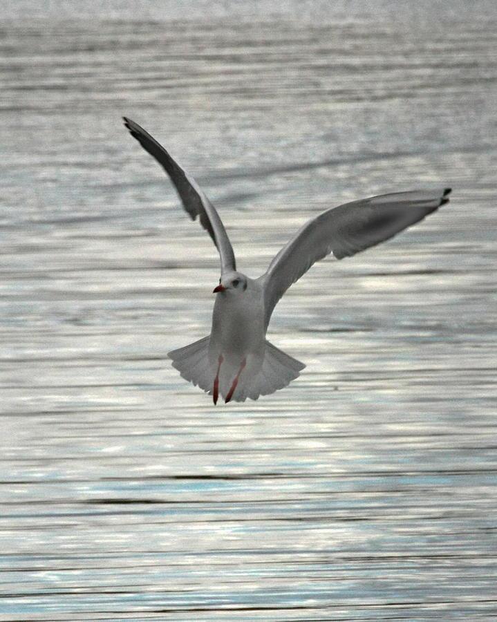 Sea Gull Photograph - Sea Gull by Tom Gallacher