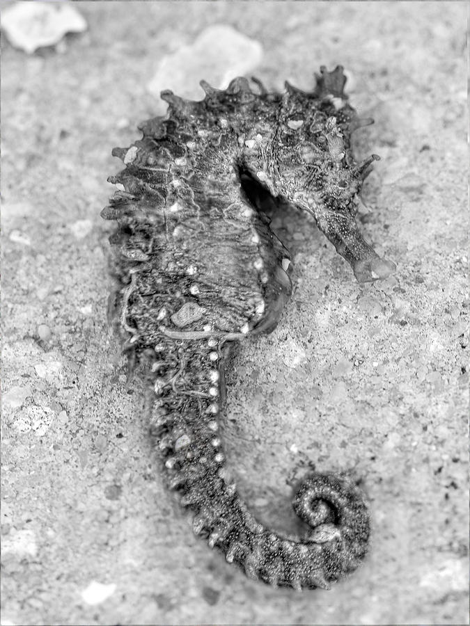 Sea Horse Blackwhite Photograph by Jenny Ellen Photography