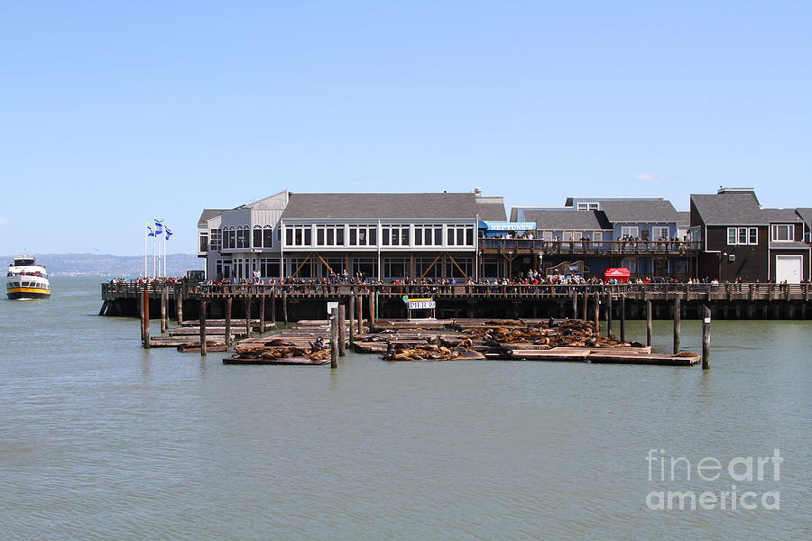 San Francisco Photograph - Sea Lions At Pier 39 San Francisco California . 7d14273 by Wingsdomain Art and Photography