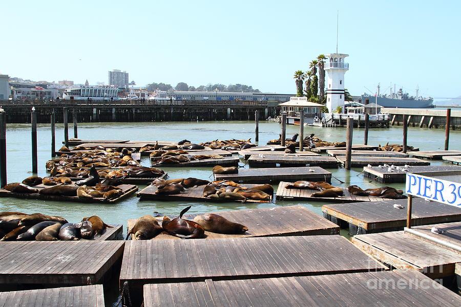 San Francisco Photograph - Sea Lions At Pier 39 San Francisco California . 7d14309 by Wingsdomain Art and Photography