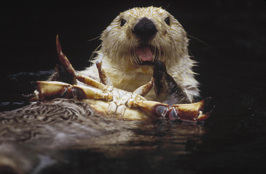 Mp Photograph - Sea Otter Enhydra Lutris Female Eating by Gerry Ellis