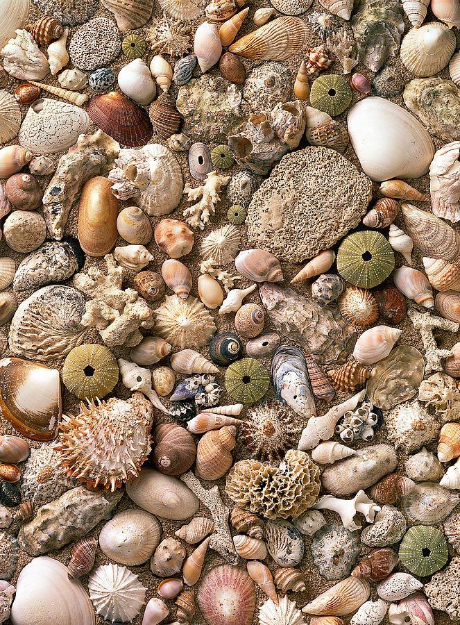 Framed Pyrography - Sea Shells  by Mauro Celotti