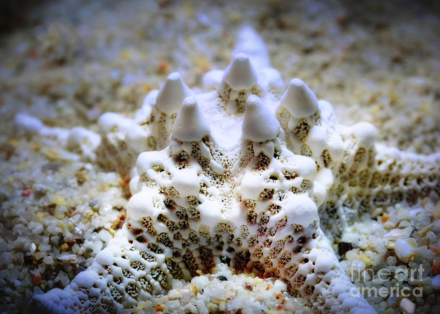 Starfish Photograph - Sea Star by Judi Bagwell