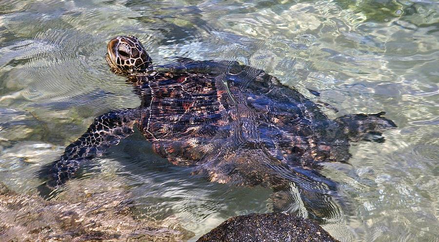 Sea Turtle Swimming Photograph - Sea Turtle Swimming by Danielle Del Prado