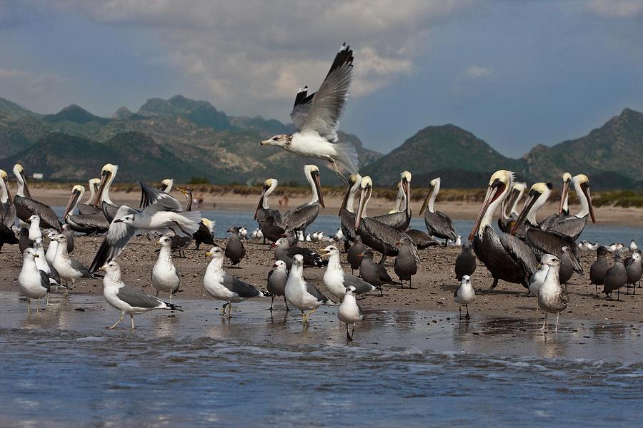 Beach Photograph - Seagul Fly By by Dina Calvarese