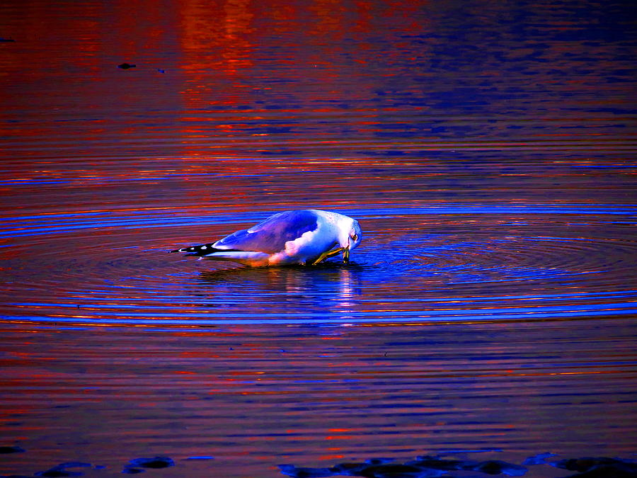 Seagull Photograph - Seagull Bathing In Dramatic Light by Catherine Natalia  Roche