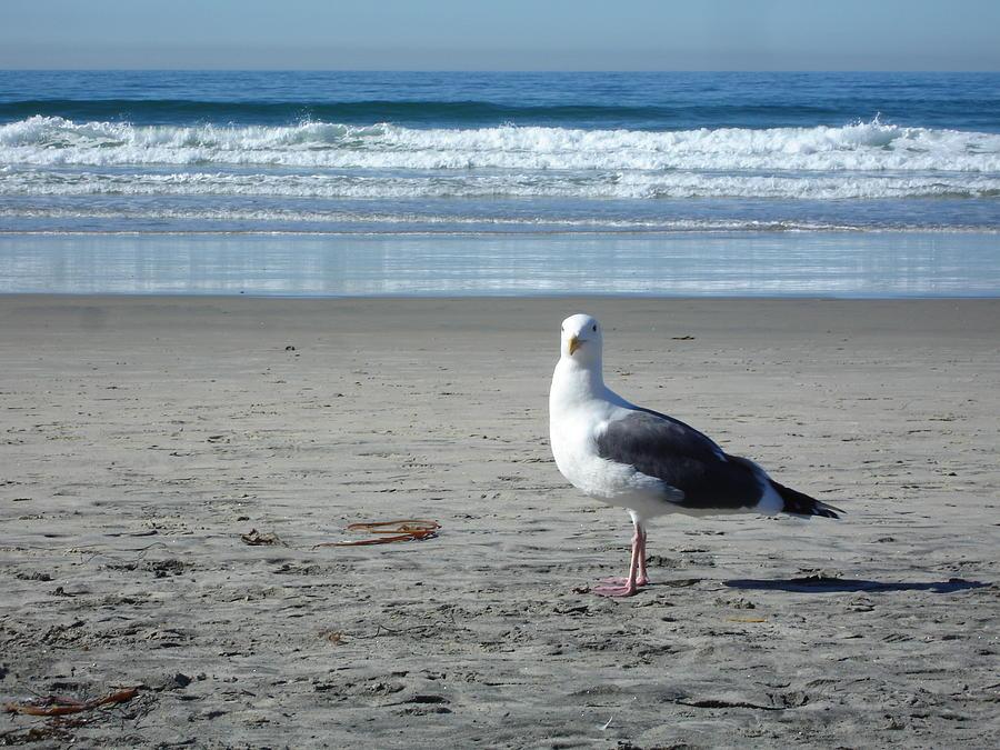 Seagull Beach Pose Photograph By Laura Coleman Lienhart