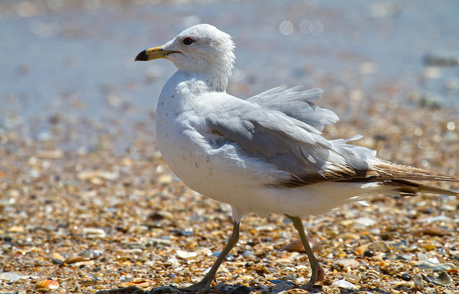 Seagull Photograph - Seagull by Betsy Knapp
