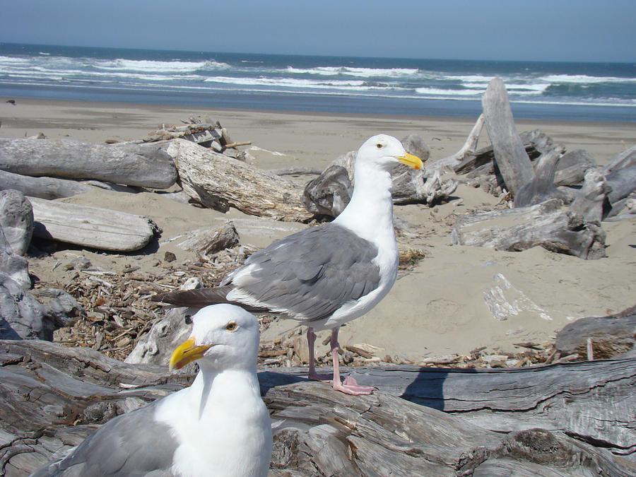 Seagull Photograph - Seagull Bird Art Prints Coastal Beach Bandon by Baslee Troutman