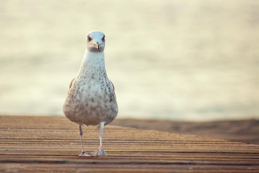 Horizontal Photograph - Seagull by by Juanedc