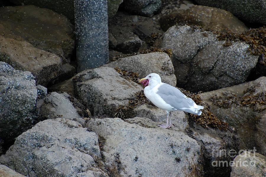 Seagull Photograph - Seagull Eating a Starfish by Marsha Thornton