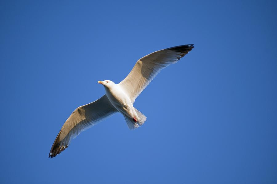 Aves Photograph - Seagull Flying by Keith Levit