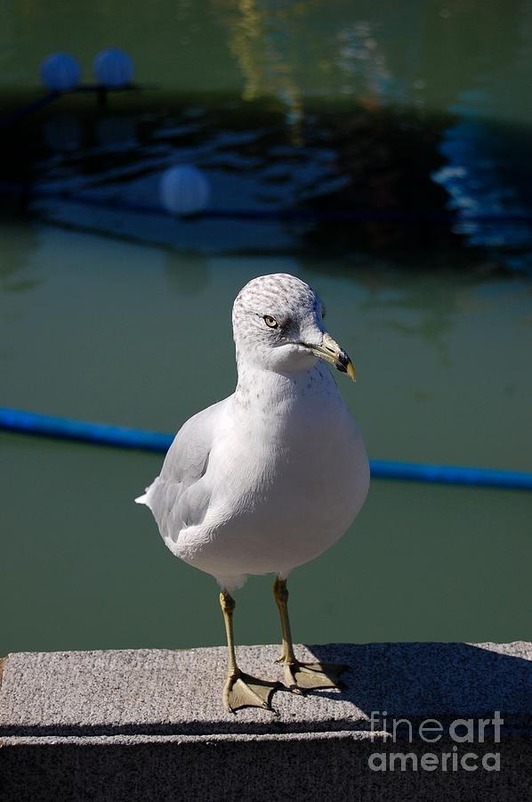 Gull Photograph - Seagull by Marsha Thornton