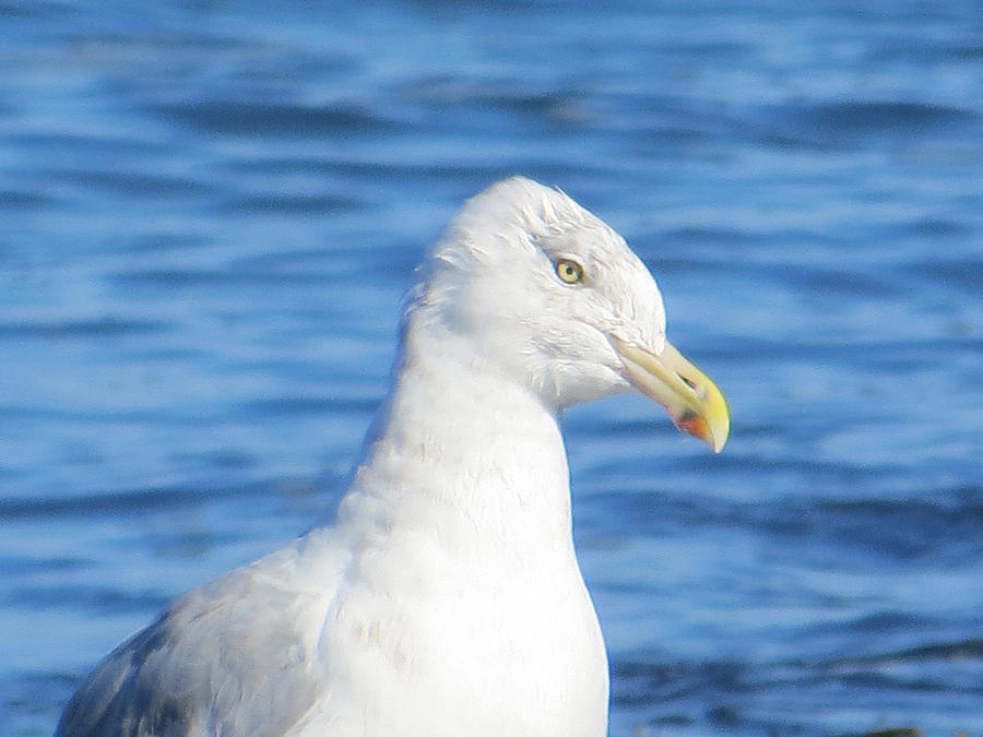 Seagull Photograph - Seagull by Pamela Turner