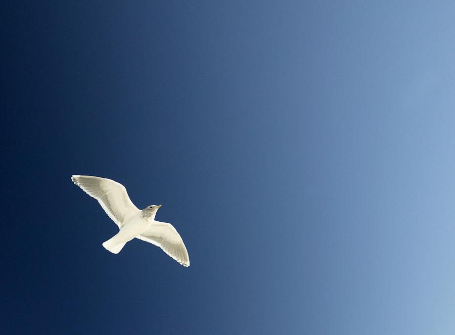 Bird Photograph - Seagull Soaring by Con Tanasiuk