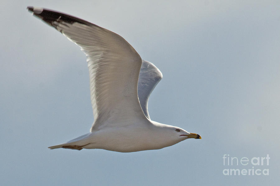 Seagull Photograph - Seagull Soaring by Darleen Stry