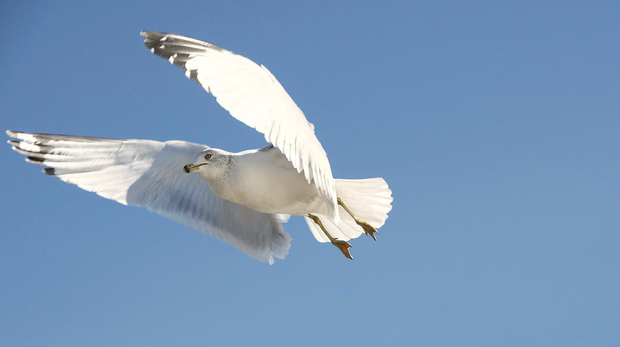 Seagull Photograph - Seagull by Steven Michael