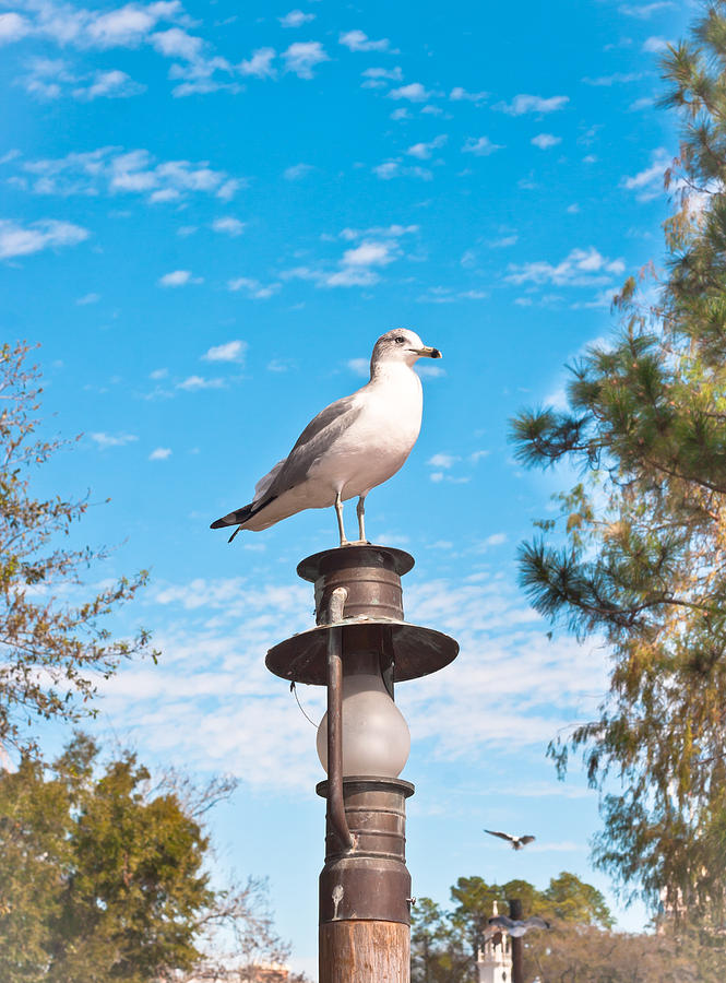 Animal Photograph - Seagull by Tom Gowanlock